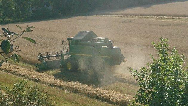 Innhøsting av korn på Øvre Gokstad august 2017. Tilstøtende jorde til det omsøkte område.