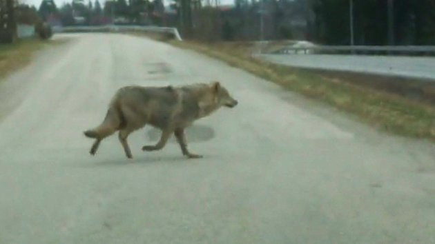 ULV PÅ MONA: Morten Wedahl, skolesjef i Rakkestad, filmet denne ulven idet den krysset Monaryggen og Fylkesvei 128 (Gamle E18) i gikk inn i skogen ovenfor boligfeltet Østereng på vårparten 2017. FOTO: Arkiv