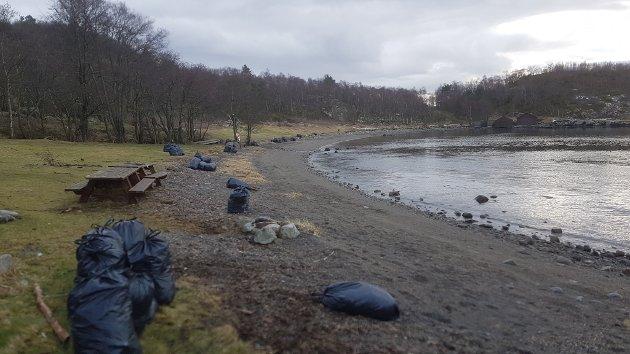MYE TARE: 60 stk. søppelsekker med tang og tare og gras i Kuvika etter ryddingen 27. februar. Og tilbake ligger det fremdeles minst 850.000 stk. plastarmering, påpeker leserbrevskriveren. Foto: Privat