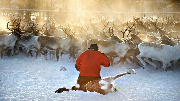 KJERNEVIRKSOMHET: Kjernen i samisk kultur og identitet er reindrift. I noen perioder av norsk historie har samisk reindrift og annen, ikke-samisk, arealbruk levd konfliktfritt side ved side. Men det er også tallrike eksempler på at behov i storsamfunnet har ført til press på de samiske reinbeiteområdene. Nå sist ser vi dette i flere vindkraftutbygginger, skriver artikkelforfatterne.
