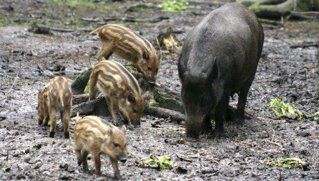 TRUSSEL: Villsvinet er en trussel mot jordbruk, skogbruk og fauna, skriver Odd Even Fylling.