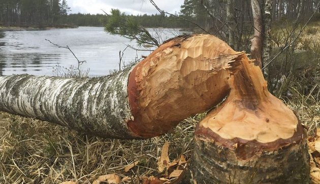 ULOVLIG: Det er ulovlig å felle trær i Vestfjella naturreservat, men jeg regner med at beveren blir frikjent, selv om den har felt dette treet ved Teigsørvann i naturreservatet. Foto: Morten Paulsen