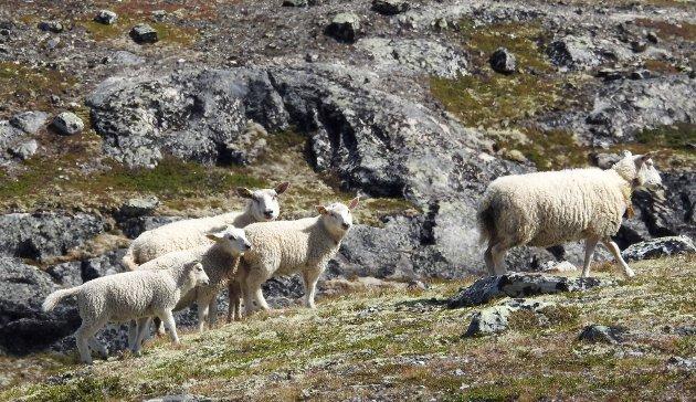 sau, beitedyr. sauer i høyfjellet, Jakter jerv *** Local Caption *** sau, beitedyr. sauer i høyfjellet, Jakter jerv