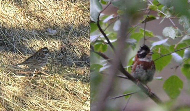 Vierspurven er kanskje allerede utryddet i Norge. Bildet vil venstre viser fuglen som svært uventet dukket opp ved Moskenes camping, mens fuglen til høyre er fotografert på hekkeplass i Hedmark rundt år 2005.