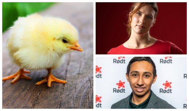 FORBUD: Rødt ønsker å styrke dyrevelferden, blant annet ved å forby kverning av levende kyllinger, skriver Maren Njøs Kurdøl og Kristian Mateo Norheim.
