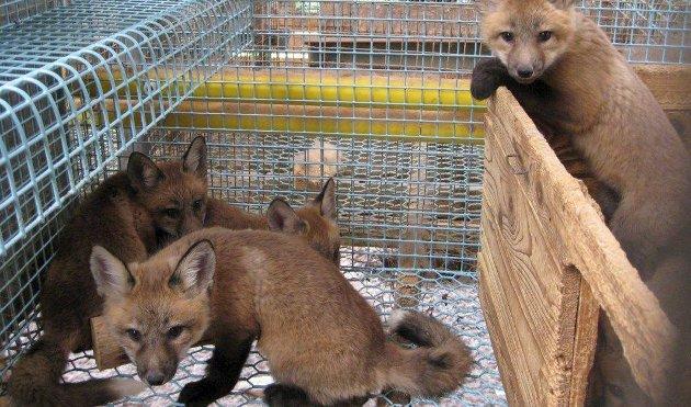 Avvikles: Pelsdyrnæringen skal opphøre i Norge, noen tar det om en seier for godt dyrevern.