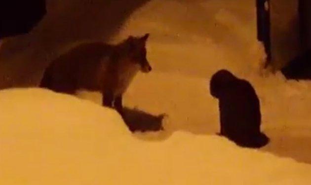 NEKTER Å VÆRE LETT BYTTE: Katten gjør seg så skremmende den kan, for om mulig å unnslippe reven.