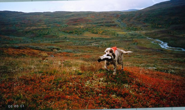 jakt jakthund hund