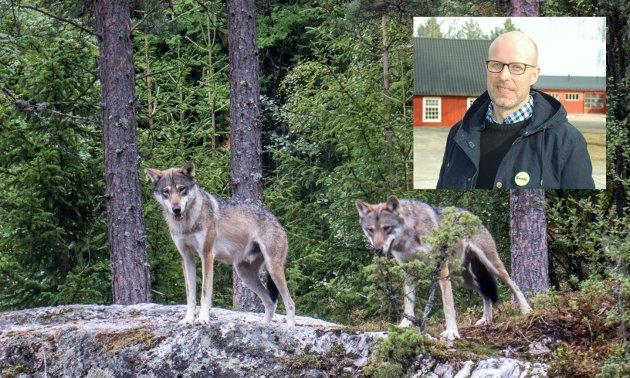 Hvor mye skal det koste beitedyra, bonden og samfunnet at ulvene i den reetablerte norsk-svenske ulvestammen skal få pare seg med en artsfrende som har vandret på egne ben Nordkalotten rundt, skriver Erling Aas-Eng, styremedlem i Norges Bondelag.