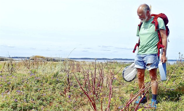 Lite å finne: Nedbeita strandkvann på Taredynga. Her er det ikke mange blomsterbesøkere å få i håven!