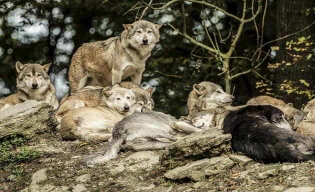 «DET BESTE»: – Om du er ulv eller menneske – ung eller gammel – sterk eller svak – så vil du uansett skape det beste for deg og dine, skriver Arne Håkon Vik i dagens Signert. Illustrasjonsfoto: Colourbox