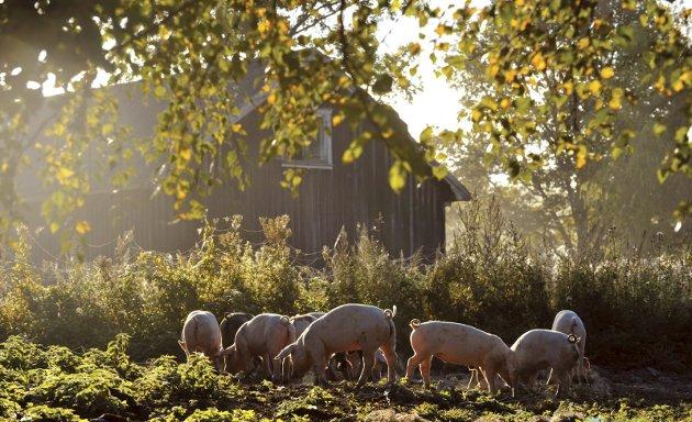 DYREVELFERD: Ingela Nøding er opptatt av dyrevelferd i dagens Signert. Dette er grisene på Grøstad gård i Vestfold. Hver og en av dem har 200 kvadratmeter å boltre seg på. Foto: GRØSTAD GÅRD