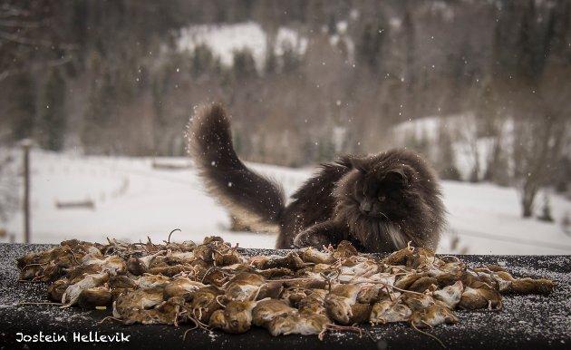 MESTERJEGER: Grådig har ganget minst 218 mus siden august. Her leker han seg med hele gjengen. foto: Jostein Hellevik