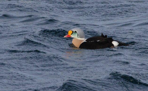 Praktærfuglen er av mange kalt «verdens vakreste and». Den hekker ved våtmark og småpytter på den arktiske tundraen, og i hekketiden er den ikke like kystbundet som vår ærfugl.