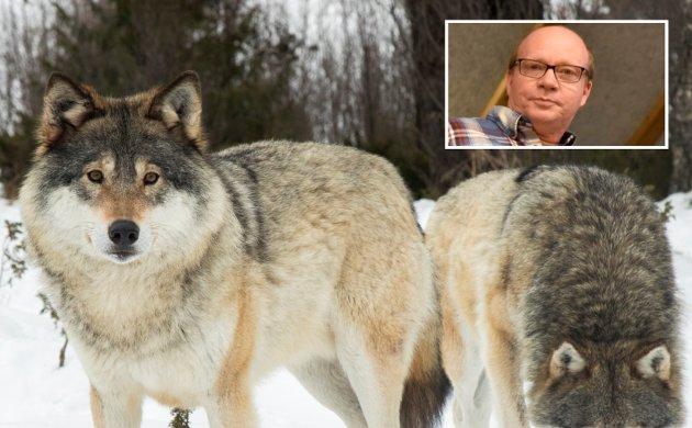 """Ketil Kkjenseth (V) mener Ap bør """"la cowboygattene ligge"""" i ulvedebatten."""