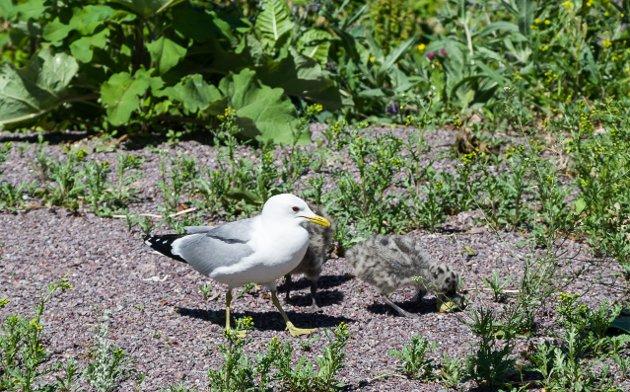PASSER UNGENE: Måkemor passer på. Det er helt naturlig, skriver innsenderen og mener media framstiller fuglene som aggressive uten grunn.