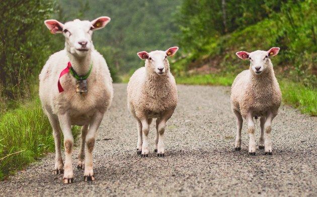 MELD FRÅ: Køyrer du på eit husdyr, så dekkjer forsikringa på bilen erstatninga – utan eigendel, skriv Bente Gro M. Slettebø.