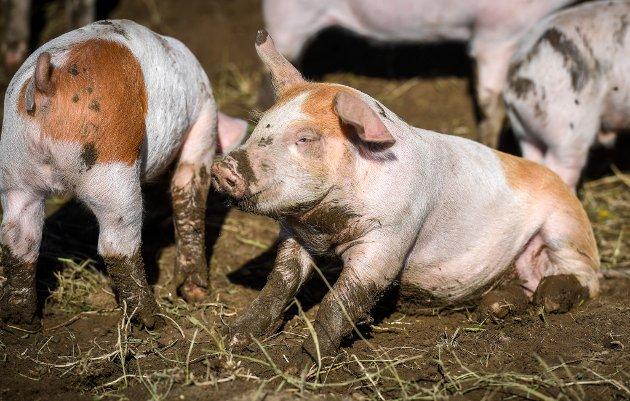 Tine og Sindre Sjøvoll kjøpte Lillebakken gård på Valla i Hemnes i 2020. Der driver de med gris både ute og inne.