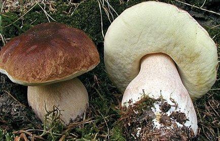 Delikatesse: Ingen sopp i Larviks skogsområder kan måle seg med steinsoppen.