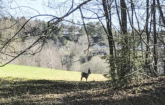 Mest sett: En rådyrbukk er den jeg har sett mest i Bøkeskogen, ofte sammen med familien.Foto: per Albrigtsen