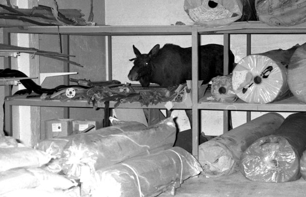 18. oktober 1979: Dramatisk bytur.       En dramatisk og unik reportasje. Meldinger løp inn til SB, om elgen som hadde tatt seg en tur på byen. Den ble sett flere steder og Olaf Akselsen  rykket ut, men å ta igjen en elg var ikke lett. Jeg rakk det imidlertid denne gangen. Før den havnet på teppelageret i Dronningens gate 3, besvimte en dame av redsel i den samme gata. Elgen prøvde videre å komme inn på Kong Carl, men måtte nøye seg med å slå med beina på døra inn til betjeningens spiserom. Så prøvde den seg med hekkeløp over gjerdet - ut fra bakgården til Torvgaten - men måtte ta porten, hvor den sprang inn garasjen til Knut Bjørn Andersen. Denne fikk noen bulker av den ubudne gjesten. Derfra gikk ferden til gårdsrommet mellom foretning og lageret til Gleditsch, hvor den møtte en dame i vareinntaket til forretningen. Elgen ombestemte seg, og sprang over og inn til lagret, hvor den hoppet over noen tepperuller og satte seg fast på andre hylle. Elgen hadde trådt gjennom hyllegulvet til teppene. Inngangen til gårdsrommet ble sperret og Håvard Hole i viltnemnden ble budsendt og kom straks.