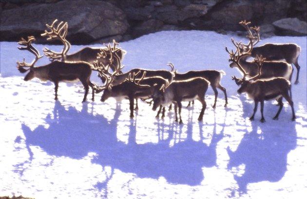 Villreinen i Rondane skaper debatt.
