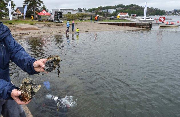 Stillehavsøsters er svært skarpe i kanten og utgjør en stor fare for badende. Disse to østersene er eksempler på at stillehavsøstersen fester seg på den vanlige flatøstersen og utkonkurrerer den.