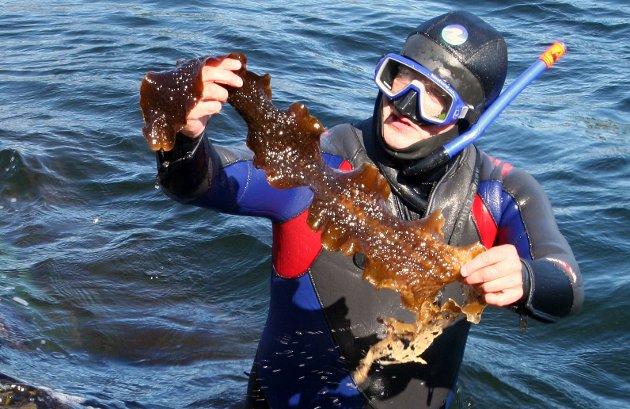 Norge har noen av de lengste, vakreste og mest varierte kyst- og havområdene i verden, skriver Arnodd Håpnes som er biolog og fagrådgiver i Naturvernforbundet. Her i felten, med sukkertare.
