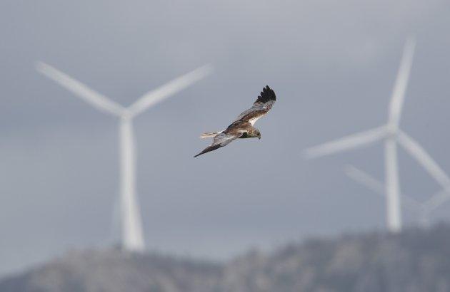 IKKJE NOK: Ein sivhauk svevar blant stadig fleire norske vindturbinar. Trass endringane som no kanskje kjem, trur ikkje Norsk Ornitologisk Forening at dette åleine vil berge naturen, fugle- og dyrelivet vårt.