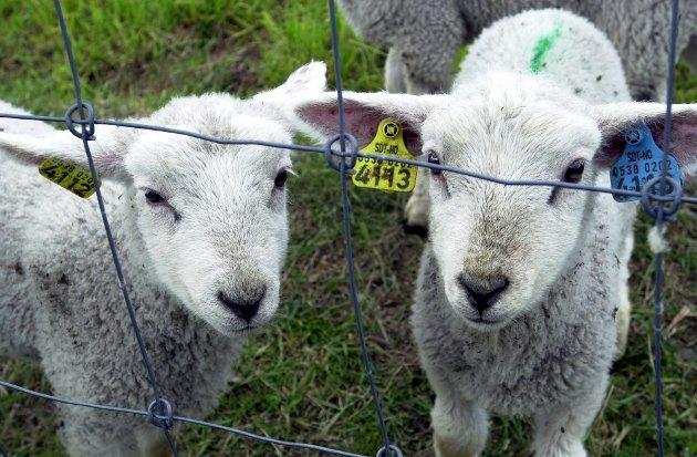 Er ikke eksistensgrunnlaget og levebrødet til sauebøndene like mye verdt som andre næringsdrivende i dette landet? spør artikkelforfatteren.