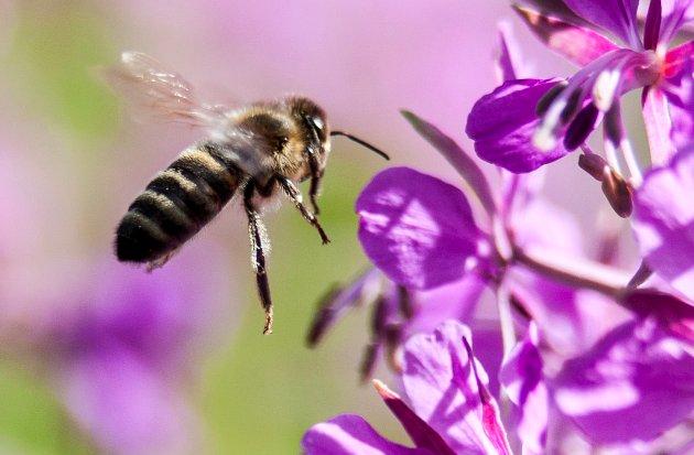 – Forsvinner i økende tempo: Uten pollinerende insekter kan matsituasjonen vår bli dramatisk, skriver innsenderen som mener vi blant annet må redusere sprøyting og gjøre plass for flere grøntområder. Illustrasjonsfoto: NTB scanpix.