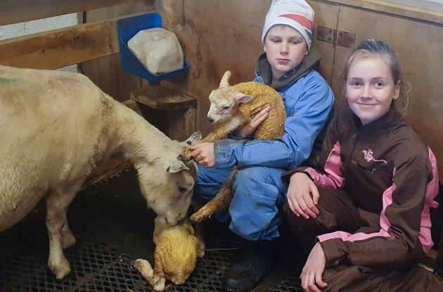 Onsdag kom det to nye lam på Moland. Knut og Serine hjalp til i fjøset.
