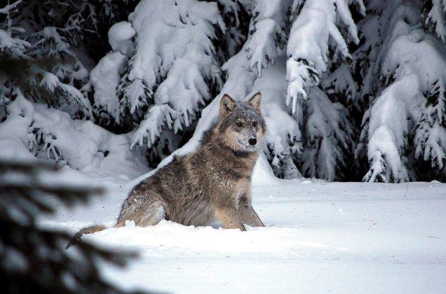 Naturvernforbundet mener klima- og miljøminister Vidar Helgesens ulvekvote er uansvarlig.