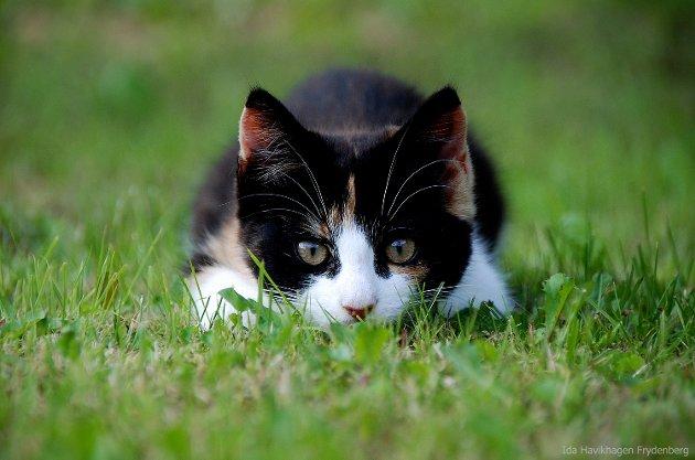 Her er kattungen Nusse klar til å fange kameraet mitt, på gressplenen hjemme hos pappa, i Flå.