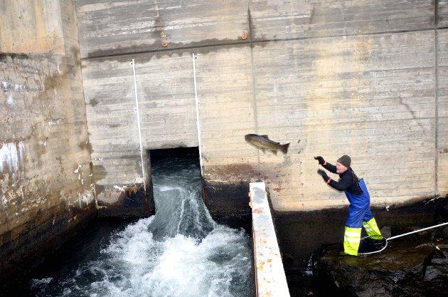 Ørret slippes ut i fisketrappa etter at den har vært i kvilekummen ved fisketrappa.