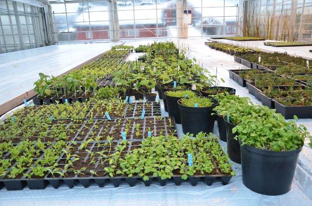 IMPORTREGLER: Regjeringen vil øke importen av grøntplanter. Dette betyr avvikling av norsk produksjon.