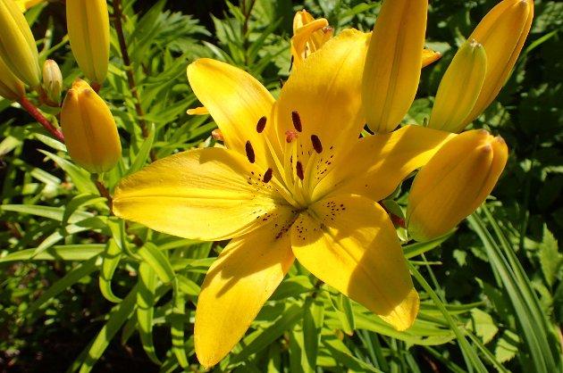 Sommeridyll: De gule liljene blomstrer for fullt i disse dager.