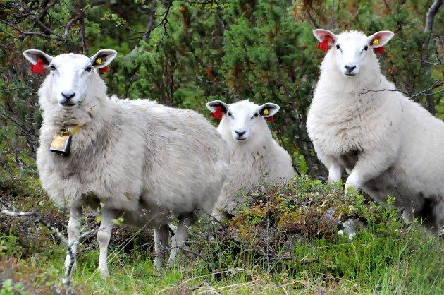TØFT: Produsentene av høgfjellslam rammes av dagligvaregigantenes markedsmakt. Foto: Vidar Heitkøtter