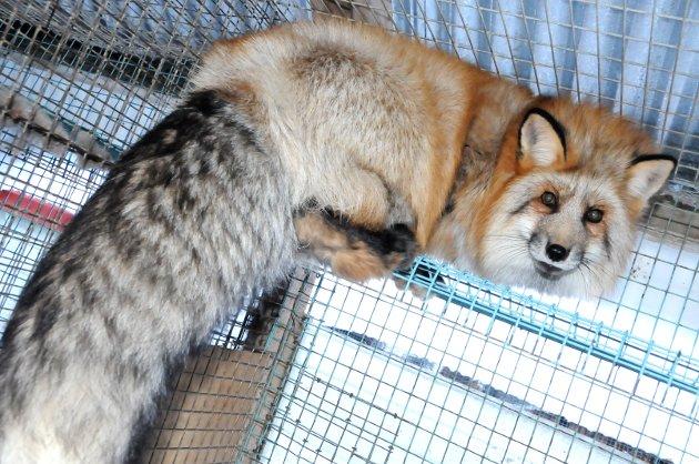 Jytte Sonne, toppkandidat i Innlandet KrF, er ikke tilfreds med erstatningsoppgjøret Regjeringen tilbyr pelsdyrbøndene.