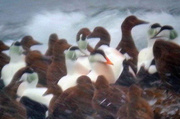 Trekkplaster: Fuglene er ett av mange trekkplaster Varanger har å by på. Da denne ærfuglen med oransje nebb dukket opp i Vardø i 2014, ble den raskt en egen attraksjon. Etter avstemming i Finnmarken, fikk den navnet Solnebb.