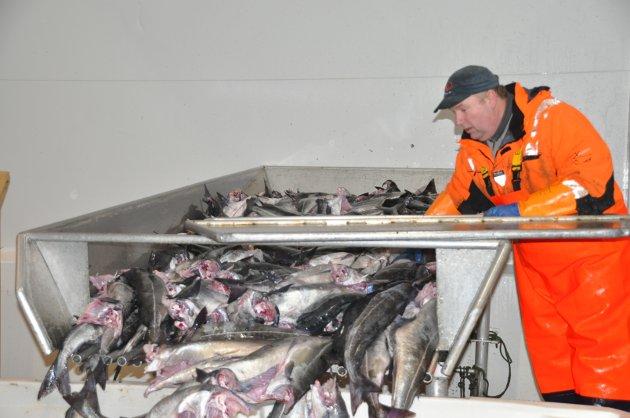 OPPDATERT 14. FEBRUAR: Her finner du bilder fra Livet på kaia fra rundt om i Lofoten. Her er Ketil i gang med å sortere sei ved Jangaard Export AS i Stamsund