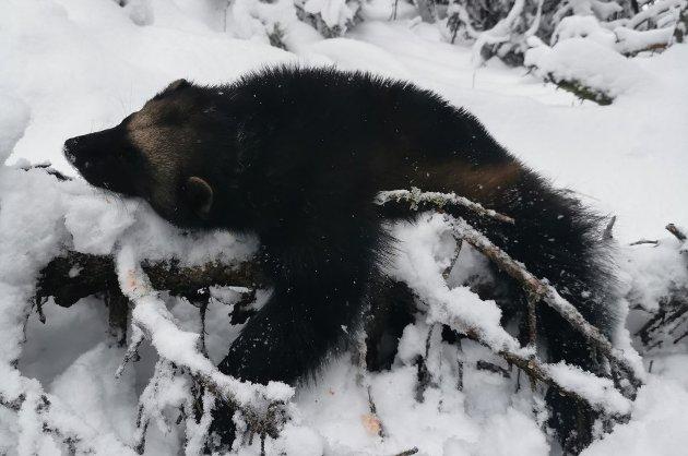 JERV: - Naturvernforbundet krever nå at miljømyndighetene innfører bruk av nettotall for ynglinger og totalbestand, slik at kvotene blir reelle i forhold til antall levende dyr i naturen, skriver fagleder Arnodd Håpnes.