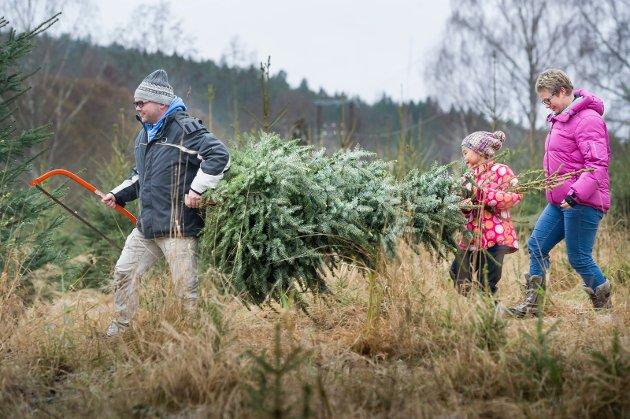 FINNE RIKTIG TRE: Det er noe eget ved å ta med seg «bågåsaga» og finne det fineste treet. På Sør-Disen i Sør Odal var det for fem år siden  mulighet for selvhogst av juletrær. Her ses Øyvind Søgård, kona Hege og datteren Siri. Legg merke til hvor lite snø det var rett før jul i 2014.