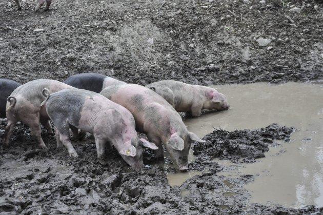 KOSER SEG: Det er ingen tvil om at grisene koser seg på beitet ved Randsfjorden.