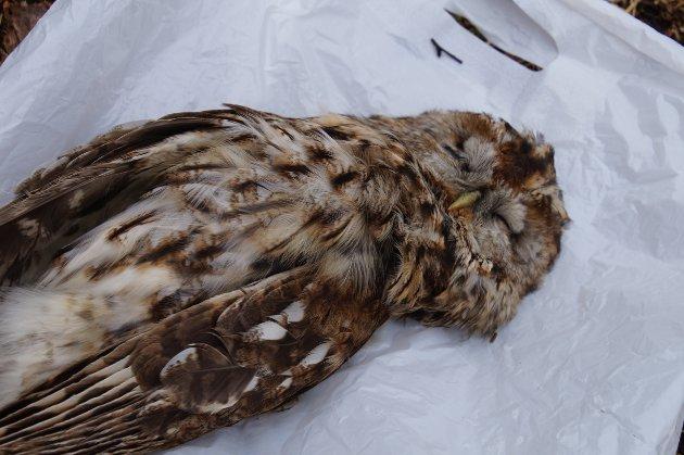 DØDE: Denne hannugla ble sultet til døde etter å ha flydd ned i pipa på grillhytta.