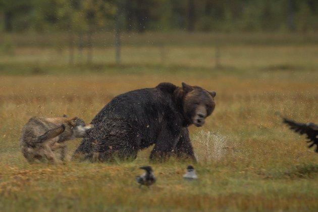 Naturfotograf Roger Brendhagen fra Hamar foreviget denne voldsomme kampen for føden i Finnland.