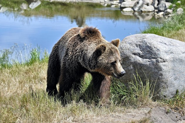LEVEDYKTIG BESTAND: - Noreg har vedtatt at vi skal ha 13 årlege ynglingar av brunbjørn. Eit mål svært langt frå at Noreg kan seiast å ta vare på ein levedyktig bestand av bjørn, påpeikar skribentene.
