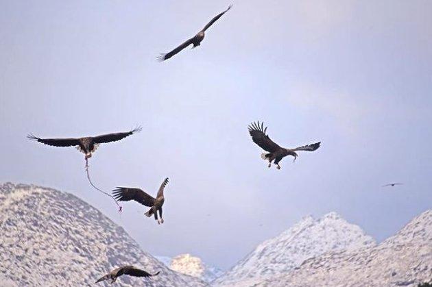 Havørn: 6 white taled sea eagles. Instagramfoto: @ asbjornrodsand