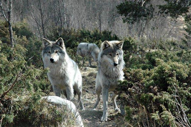 ROVDYR: Jenny Rolness peker på at ulven er svært sky og demonisert når det gjelder angrep på mennesker.