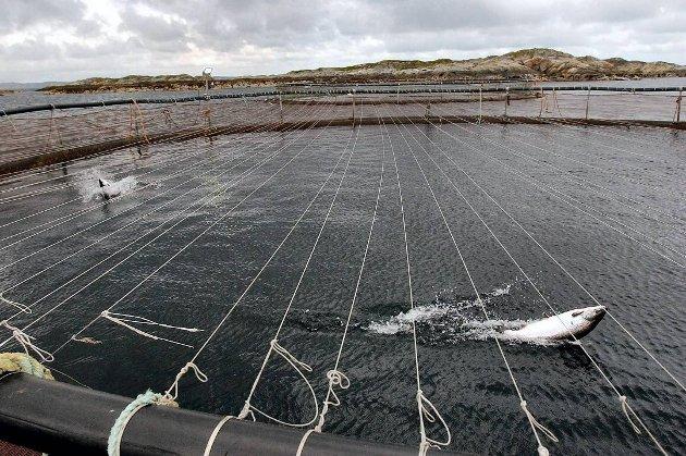 Utfordringer med lakselus, rømming, dyrevelferd, ikke bærekraftig fiskefor og avfall har til nå ikke blitt tilstrekkelig løst, skriver Kay Erling Ludvigsen.